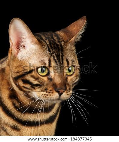 Studio portrait of bengal cat isolated on black background - stock photo