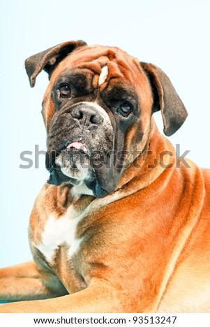 Studio portrait of boxer dog isolated on light blue background - stock photo