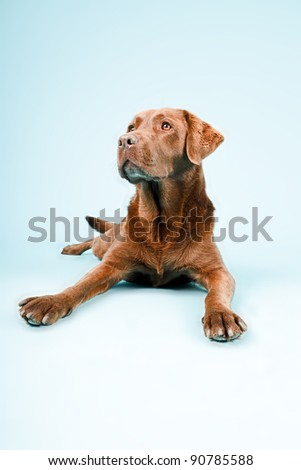 Studio portrait of brown labrador lying down isolated on light blue background - stock photo