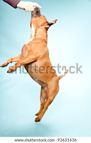 Studio portrait of brown staffordshire terrier jumping to hand isolated on light blue background. - stock photo