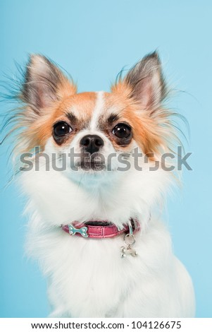 Studio portrait of cute white brown chihuahua isolated on light blue background. - stock photo