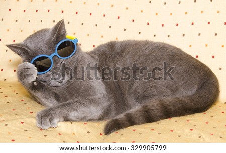 Studio portrait of funny chartreux cat with summer sunglasses. - stock photo