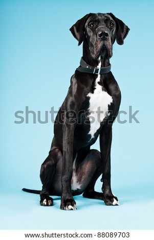 Studio portrait of great danish dog isolated on blue background. - stock photo