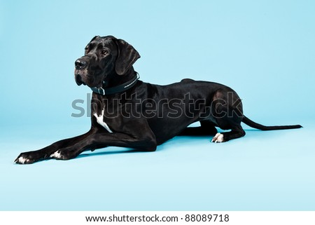 Studio portrait of great danish dog isolated on blue background. - stock photo