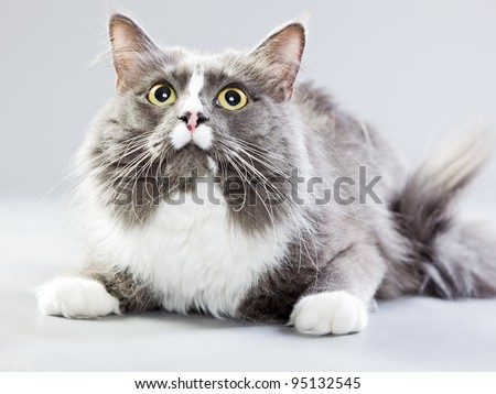 Studio portrait of grey and white maine coon cat isolated on grey background - stock photo