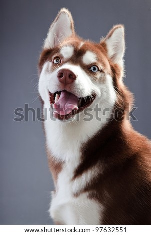 Studio portrait of husky dog isolated on grey background