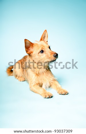 Studio portrait of little brown mixed bred dog with dark brown eyes isolated on light blue background