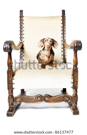 Studio portrait of little brown spotted dachshund sitting in big chair isolated on white background - stock photo