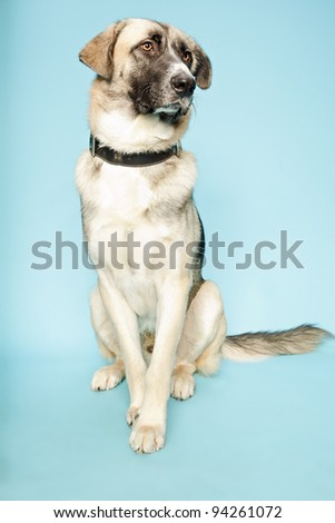 Studio portrait of mixed breed mastif husky dog isolated on light blue background - stock photo