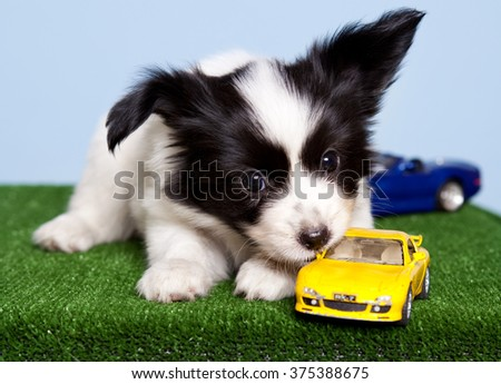 Studio portrait of one little puppy dog of Papillon breed with black and white fur and big ears lying on green grass carpet and blue background with toy cars around - stock photo