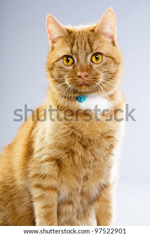 Studio portrait of red cat isolated on grey background - stock photo