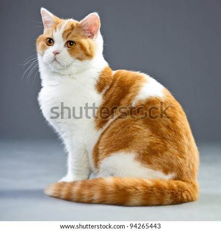 Studio portrait of red white british short hair kitten with orange eyes isolated on grey background