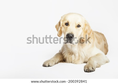 Studio portrait of the Golden retriever dog lying, isolated on white background