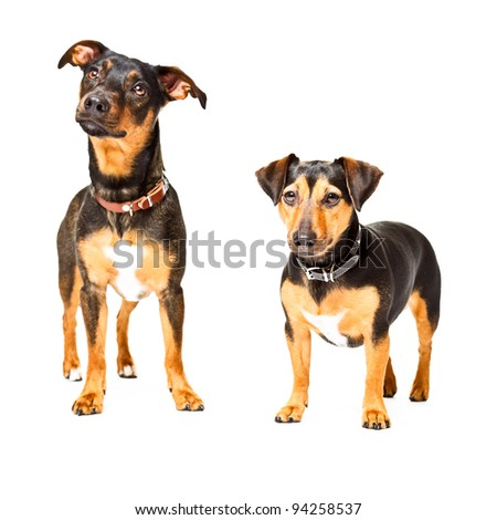 Studio portrait of two black jack russell dogs isolated on white background - stock photo