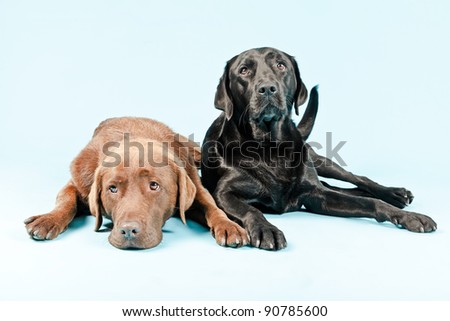 Studio portrait of two labradors lying down isolated on light blue background. Brown and black. - stock photo