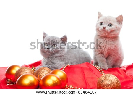 Studio portrait  of two playful young pale yellow British kittens  playing with New Year decoration on isolated white background - stock photo