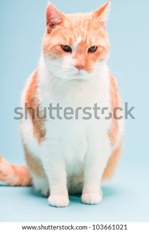 Studio portrait of white and red domestic cat isolated on light blue background - stock photo