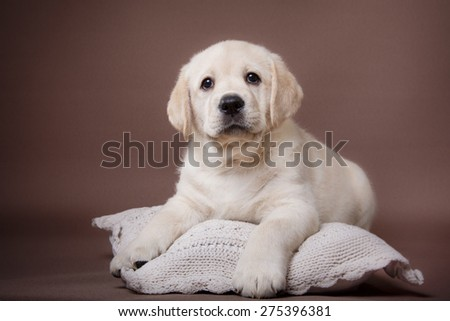 Studio portrait puppy labrador on a colored background - stock photo