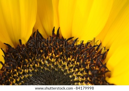 Studio shot a beautiful head  sunflower . - stock photo