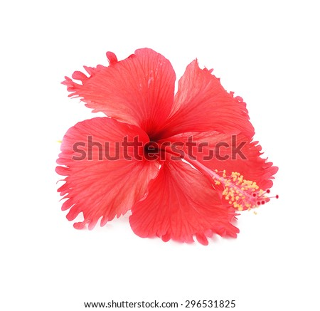 studio shot frilly red petals of exotic red hibiscus flower on white - stock photo