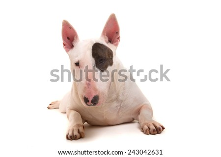 Studio shot of a beautiful bull terrier - stock photo