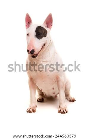 Studio shot of a beautiful bull terrier - stock photo