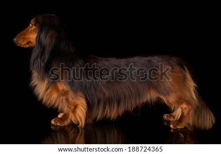 Studio shot of a beautiful long hair teckel (dachshund)