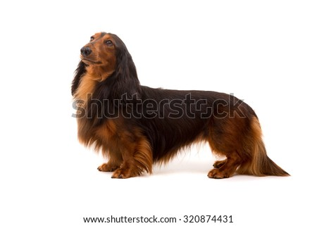 Studio shot of a beautiful long hair teckel (dachshund)  - stock photo