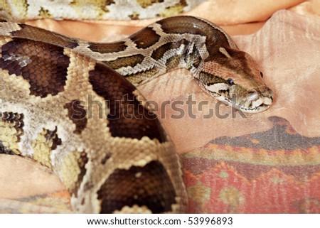 Studio shot of a big python. - stock photo