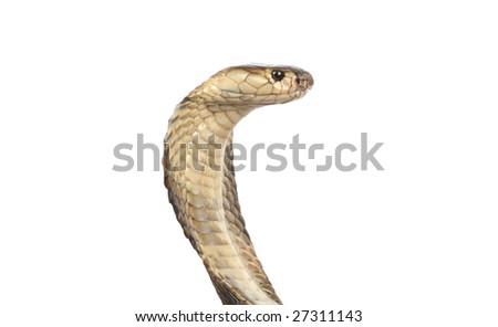 studio shot of a cobra in strike position - stock photo