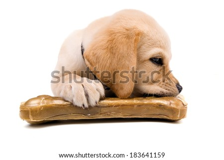 Studio shot of a cute, yellow labrador puppy playing with big bone - cute wide angle deformations. - stock photo