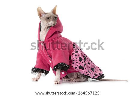 Studio shot of a Don Sphinx cat dressed with jacket in front of white background - stock photo