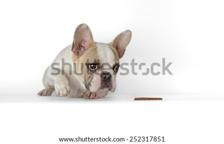 of a female french bulldog puppy with a white background - stock photo