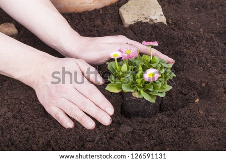studio shot of a gardener planting bellis perennis, (daisy flowers) in flower soil. - stock photo