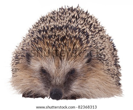 studio-shot of a hedgehog , isolated on white - stock photo