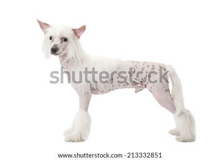 Studio shot of a purebred Hairless Chinese Crested dog in front of white background