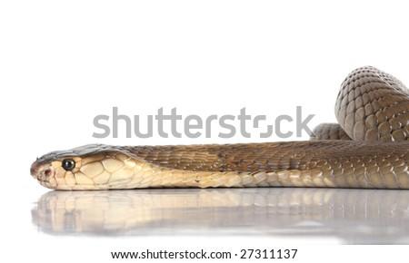 studio shot of a slithering cobra - stock photo