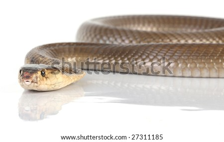studio shot of a slithering cobra - stock photo