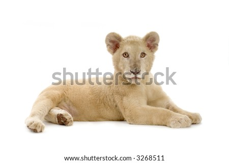 studio shot of a white Lion Cub  (5 months) in front of a white background.