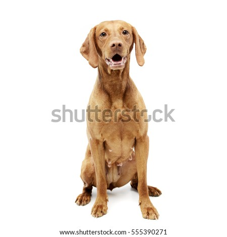 Studio shot of an adorable Hungarian vizsla sitting on white background.