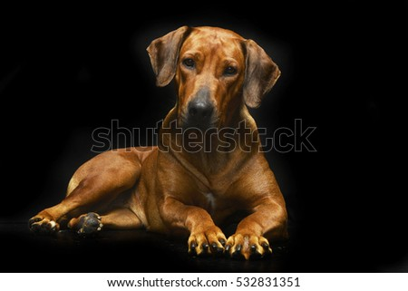 Beautiful Rhodesian Ridgeback Black Adorable Dog - stock-photo-studio-shot-of-an-adorable-rhodesian-ridgeback-lying-on-black-background-532831351  Pic_307226  .jpg