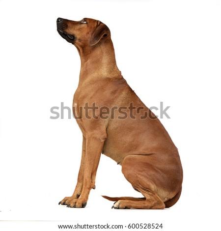 Download Rhodesian Ridgeback Brown Adorable Dog - stock-photo-studio-shot-of-an-adorable-rhodesian-ridgeback-sitting-on-white-background-600528524  Photograph_943972  .jpg