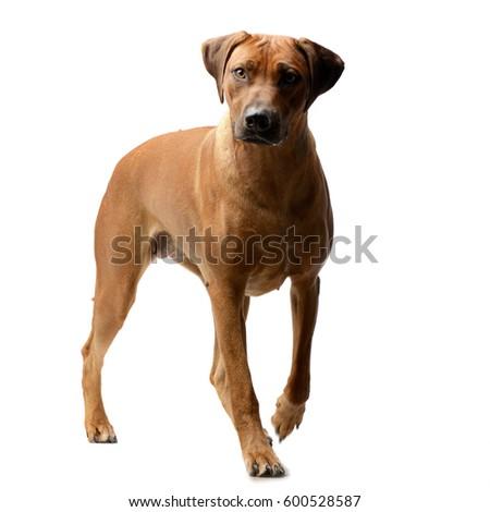 Download Rhodesian Ridgeback Brown Adorable Dog - stock-photo-studio-shot-of-an-adorable-rhodesian-ridgeback-standing-on-white-background-600528587  Photograph_943972  .jpg