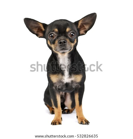 Studio shot of an adorable short haired Chihuahua sitting on white background.