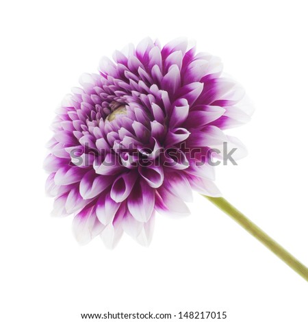 studio shot of beautiful dahlia isolated on white background - stock photo