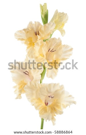 Studio Shot of Beige and Yellow Colored Gladiolus Isolated on White Background. Large Depth of Field (DOF). Macro. - stock photo