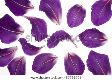 Studio Shot of  Blu Colored Gladiolus Petals on White Background. Large Depth of Field (DOF). Macro. Symbol of Reminisce, Love and Precision. - stock photo