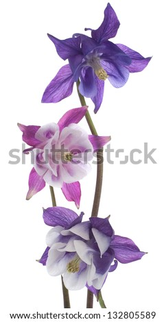 Studio Shot of Blue and Magenta Colored Columbine Flowers Isolated on White Background. Large Depth of Field (DOF). Macro. - stock photo