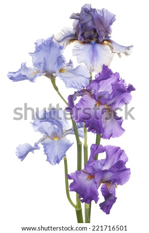 Studio Shot of Blue and Magenta Colored Iris Flowers Isolated on White Background. Large Depth of Field (DOF). Macro. Emblem of France. - stock photo