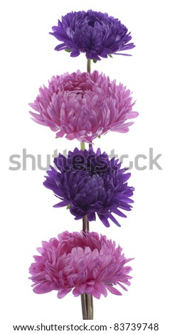 Studio Shot of  Blue and Pink Colored China Asters Isolated on White Background. Large Depth of Field (DOF). Macro. Symbol of Jealosy. - stock photo